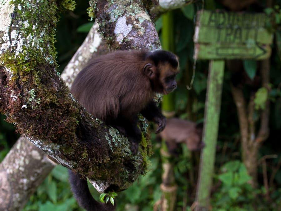 Cock of the Rock Lodge Monkeys