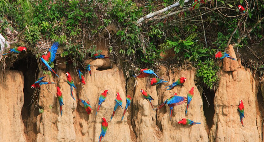 Manu Wildlife Center Macaws