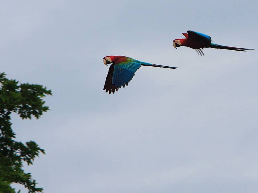 Manu Wildlife Center Macaws