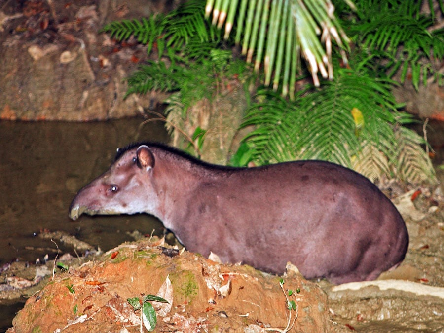 Manu Wildlife Center Tapir