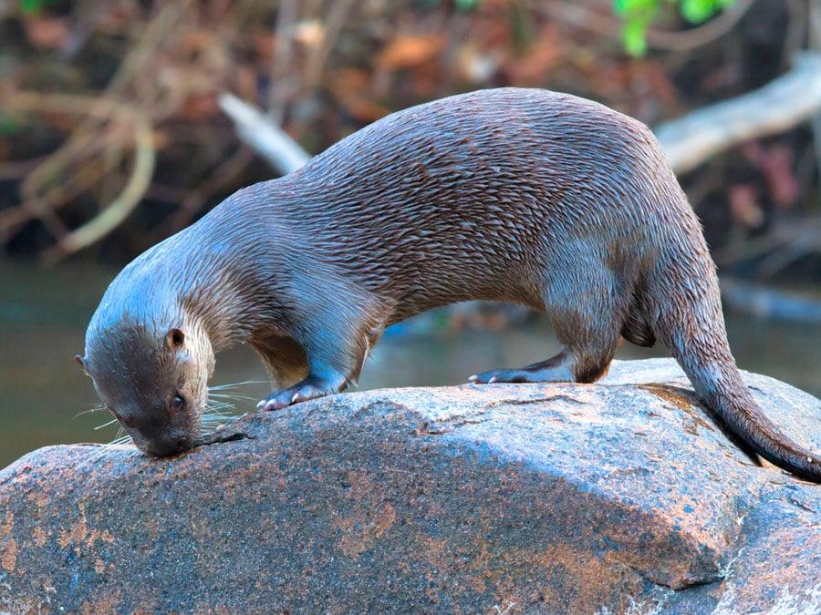Cristalino Lodge Otter