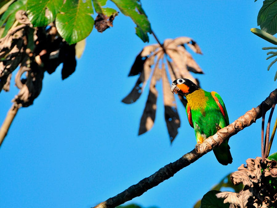 Cristalino Lodge Parrot