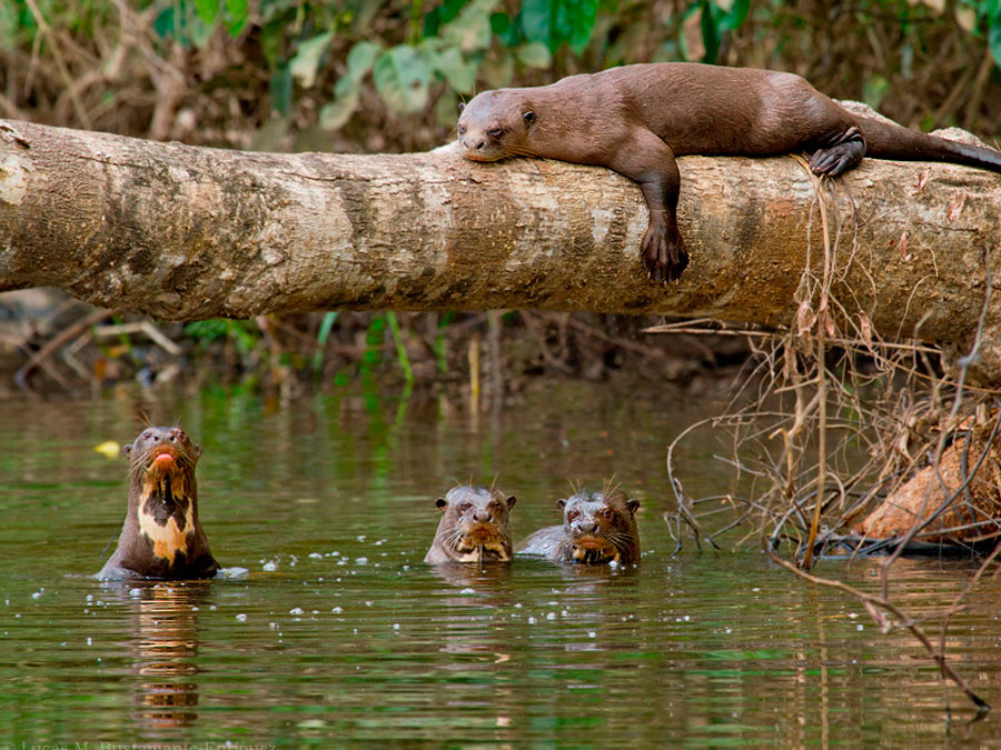 Posada Amazonas Lodge Otters