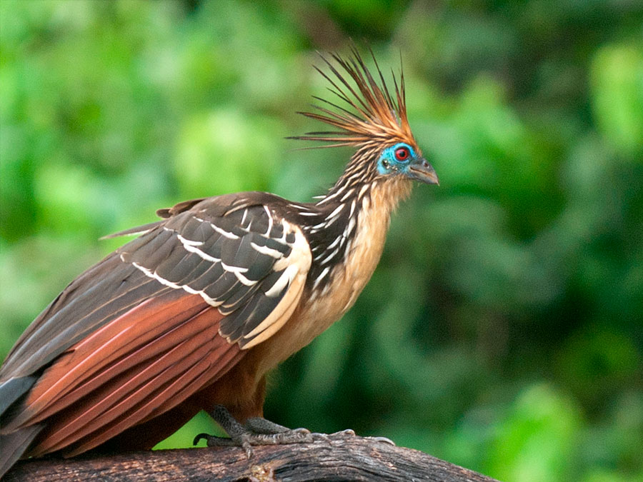 Refugio Amazonas Lodge Hoatzin