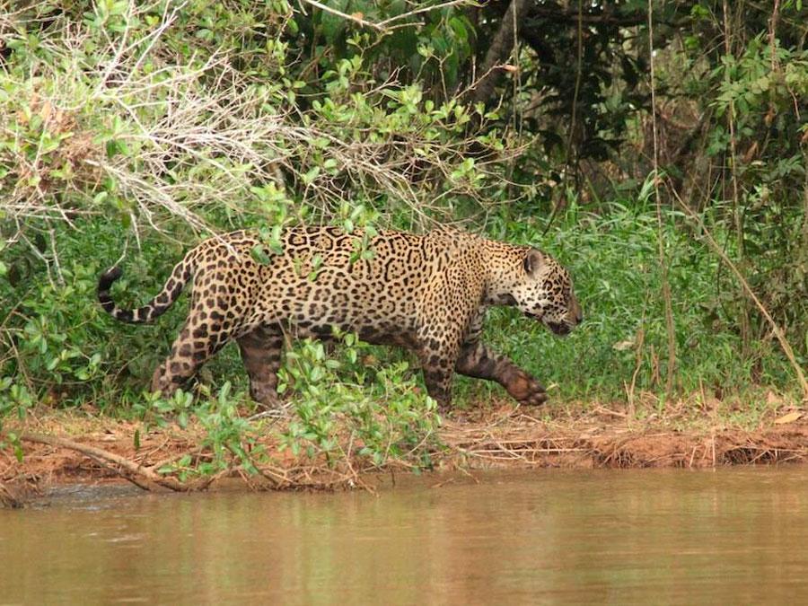 SouthWild Jaguar