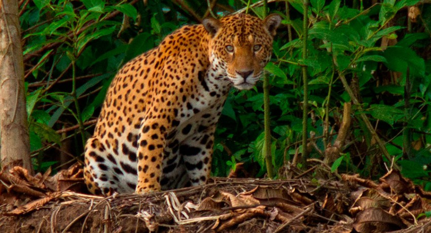 Tambopata Research Center Jaguar