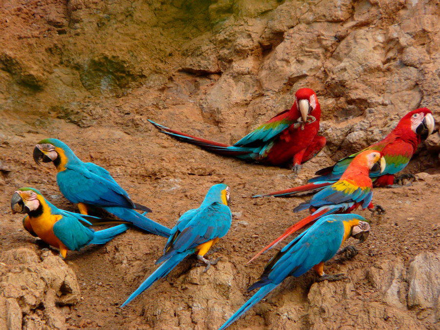 Tambopata Research Center Macaws