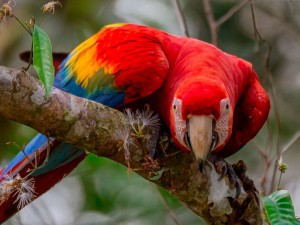 Tambopata Research Center Macaw