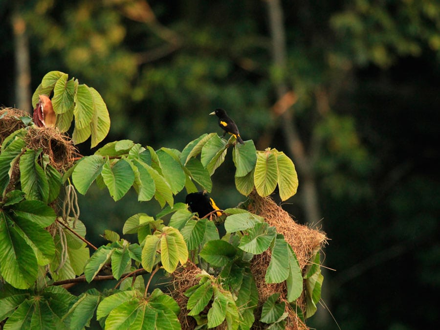 Sani Lodge Oropendola