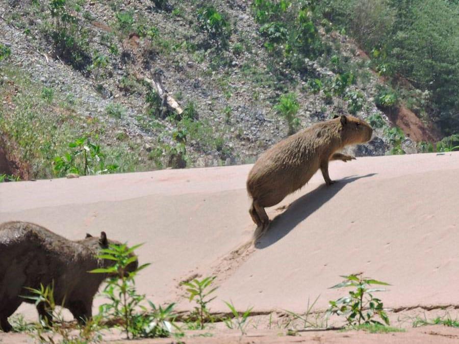 Chalalan Lodge Capybara