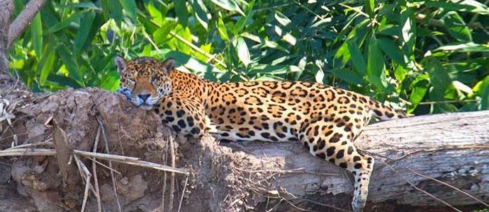 Tambopata Jaguar