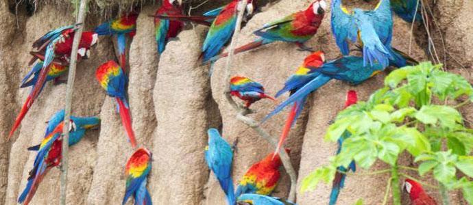 Tambopata Research Center Macaws
