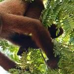 Tahuayo Lodge Monkey