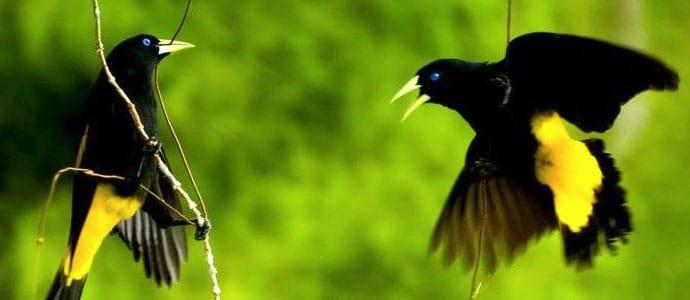 Iquitos Birds
