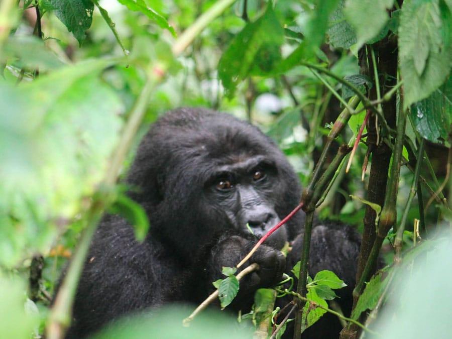 Nkuringo Gorilla Camp