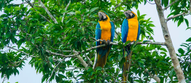 Tahuayo Lodge Macaws