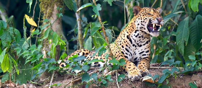 Tambopata Rainforest Jaguar