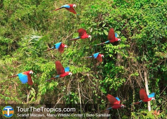 Manu Macaws