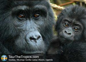Nkuringo Gorillas