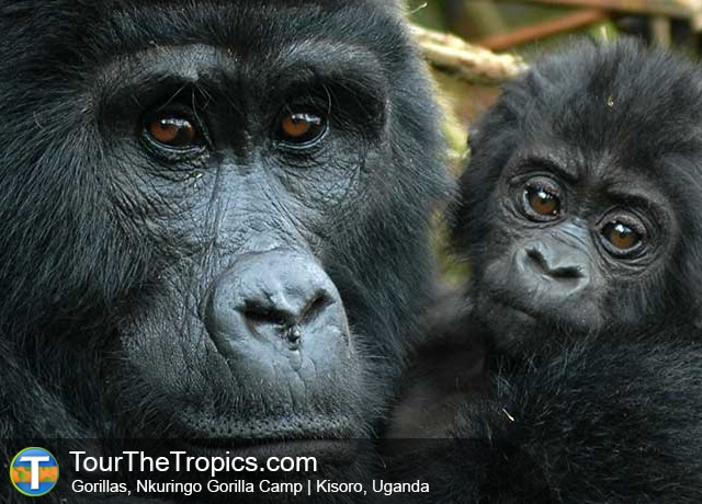 Tours To See Mountain Gorillas in Uganda