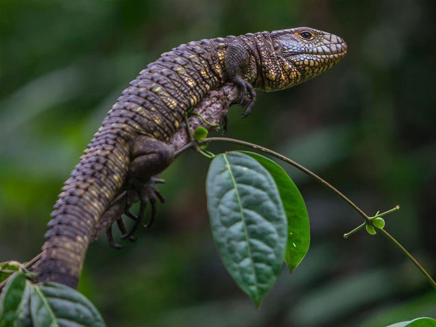 Anakonda Amazon Cruise Lizard