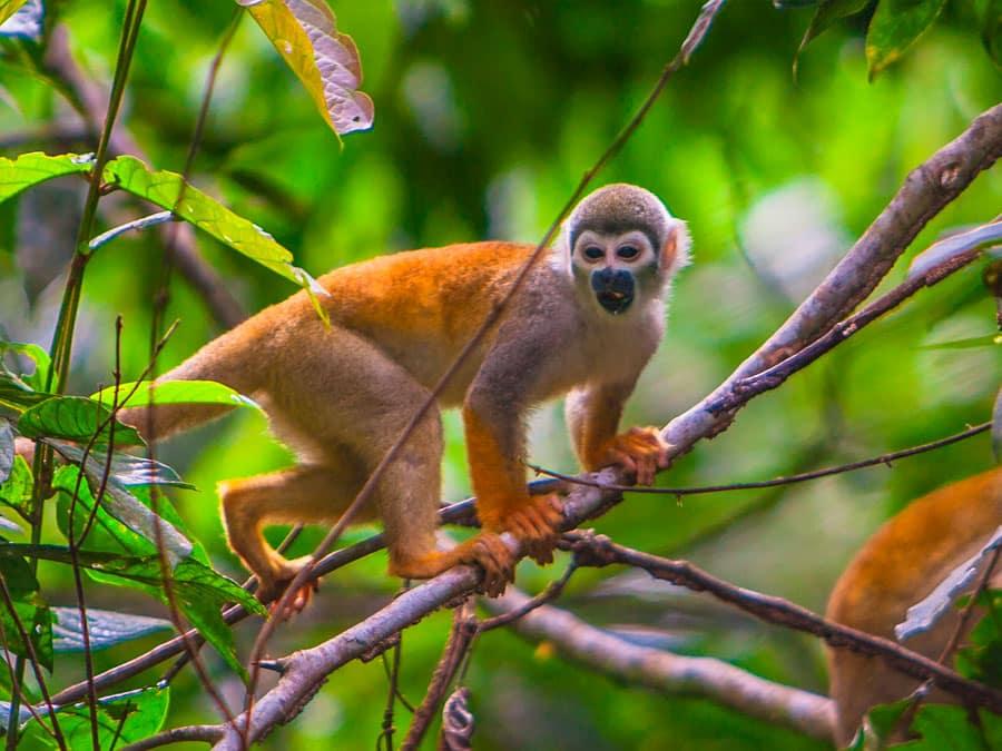 Anakonda Amazon Cruise Monkey