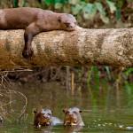 Giant Otters Posada Amazonas