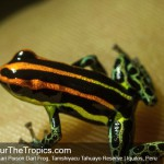Uakari Frog Tahuayo