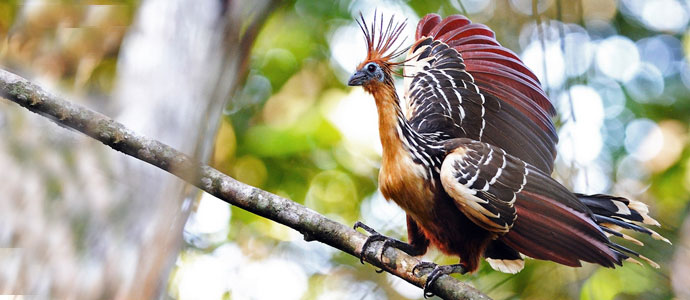 Birdwatching in Ecuador's Amazon Rainforest