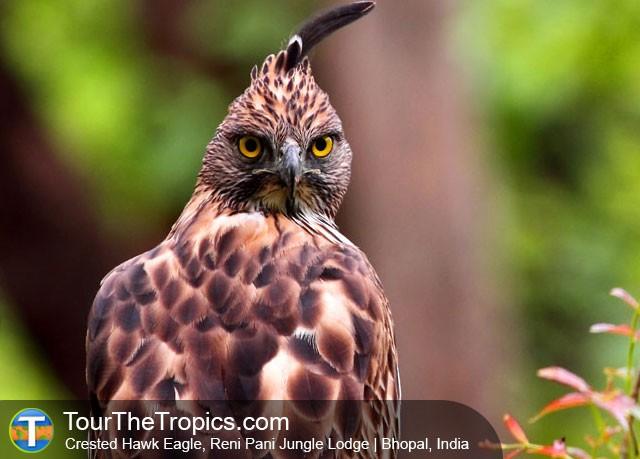 Crested Hawk Eagle Reni Pani Jungle Lodge