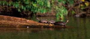 Manu Rainforest Turtles