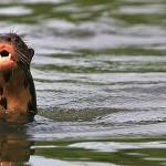Sandoval Lake Giant Otter
