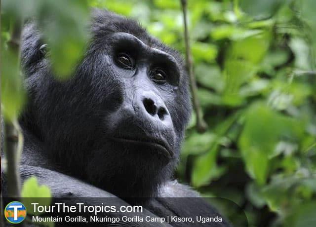 Gorilla Nkuringo Gorilla Camp