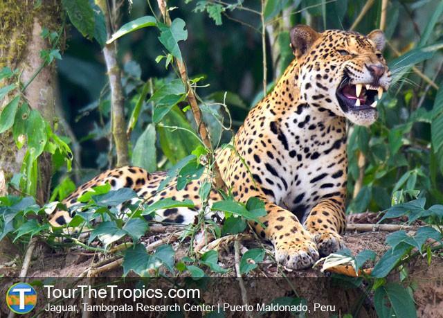 Jaguar - Tambopata Research Center