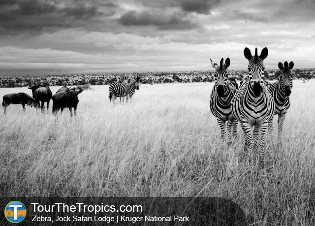 Zebra - Jock Safari Lodge