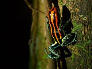 Tahuayo Frog