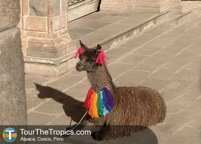 Alpaca - Cusco, Things to do around Cusco