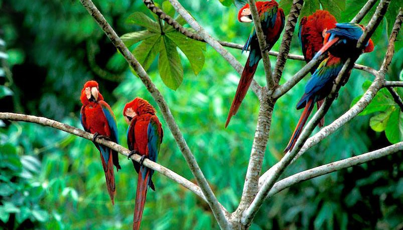 Macaw Clay Lick - Peru National Parks & Reserves