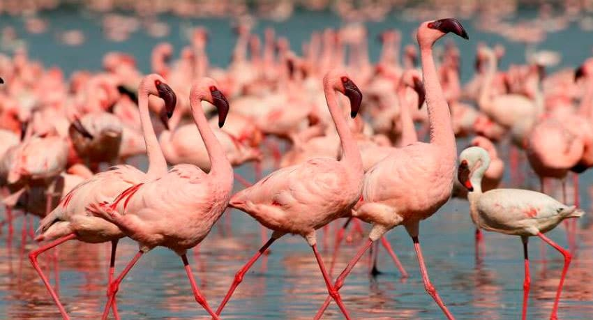 Flamingos - Great Rift Valley