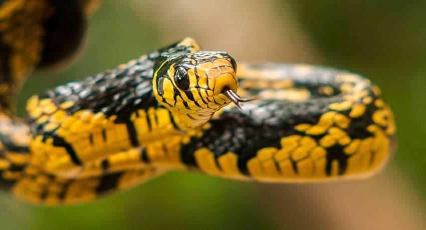 Tiger Rat Snake - Amazon Survival Tour - Alfredo Dosantos