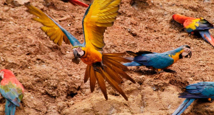 The Best Macaw Clay Licks in Peru