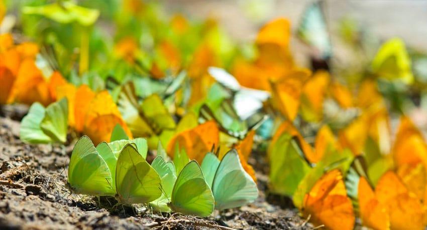 Butterflies - Cristalino Reserve
