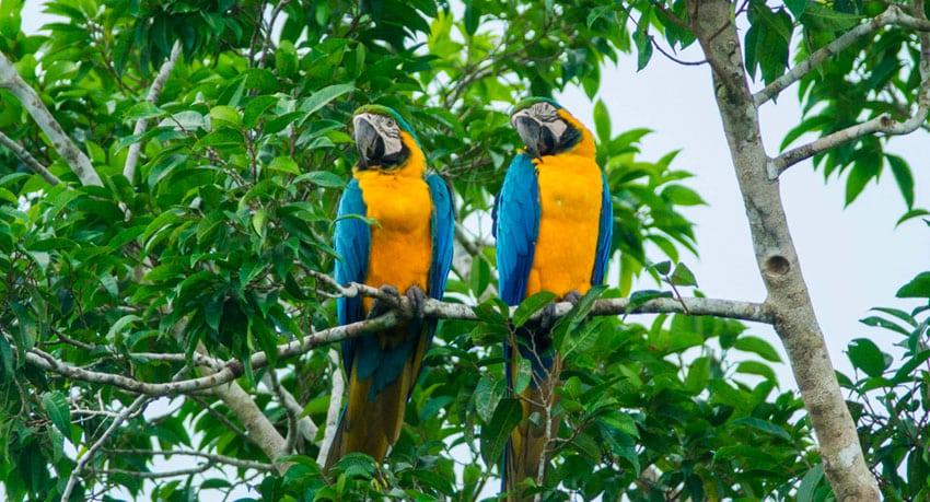 Macaws - Iquitos, Peru
