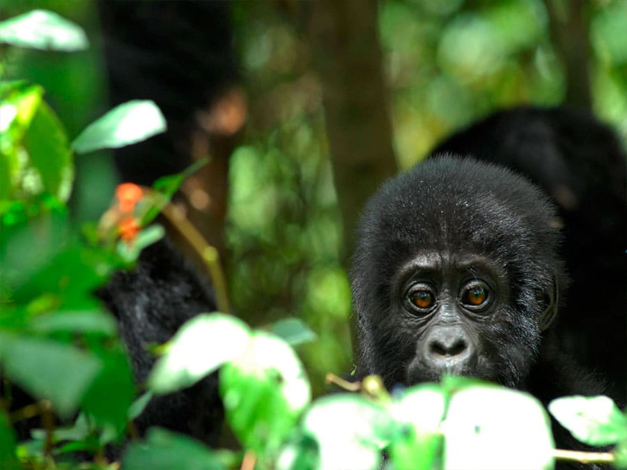 4 Day Gorilla Trekking Tour - Nkuringo Gorilla Lodge