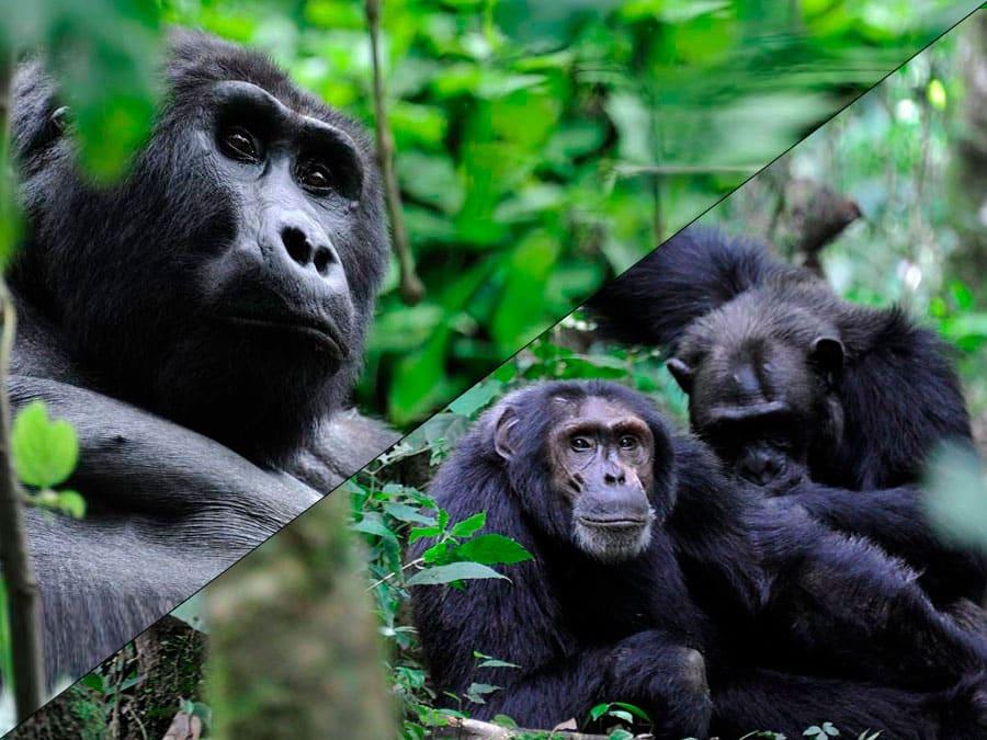The Primate Tour - 10 Days - Nkuringo Gorilla Lodge