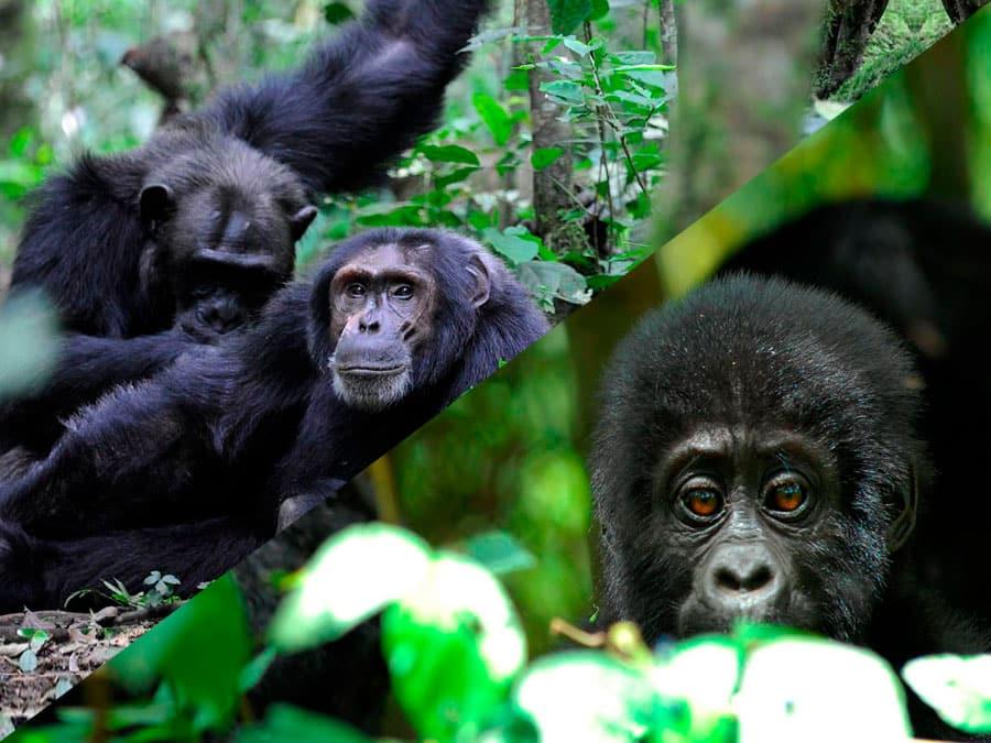 The Primate Tour - 7 Days - Nkuringo Gorilla Lodge