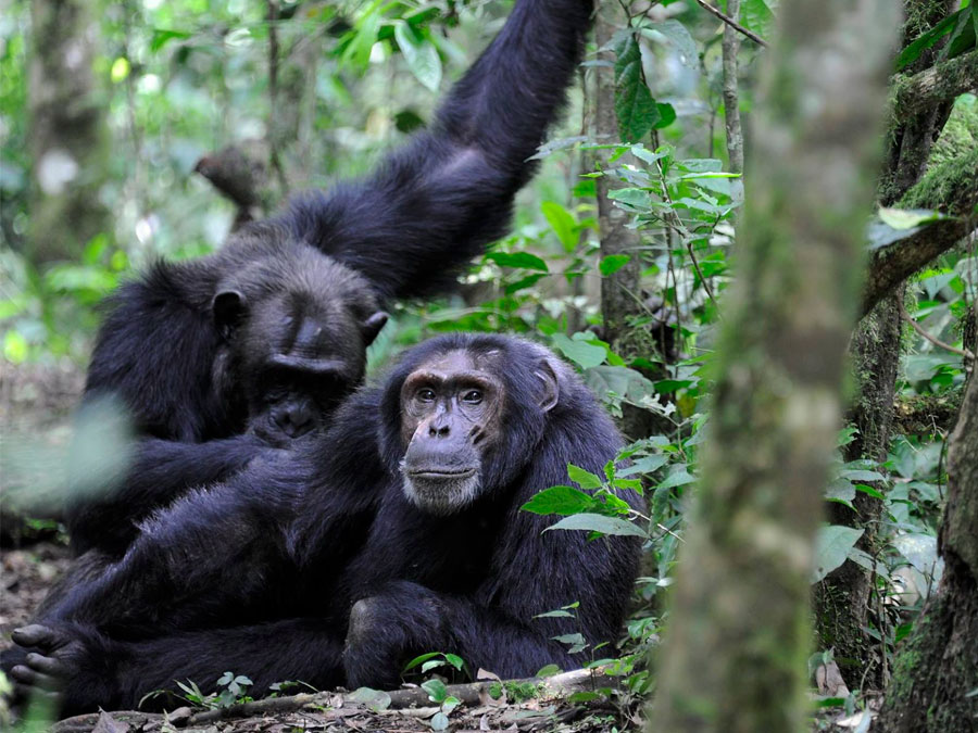 Chimpanzees - Kibale National Park