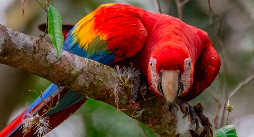 Scarlet Macaw - Amazon Rainforest Travel