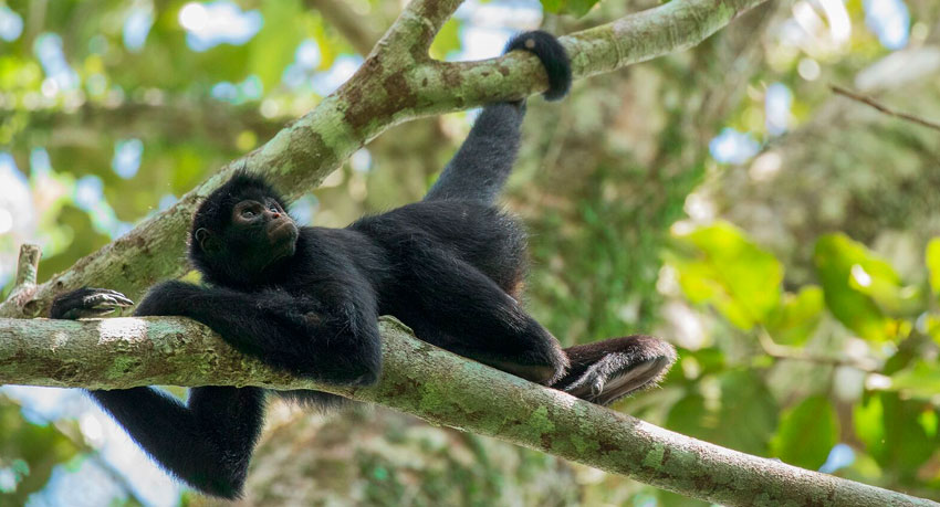 Spider Monkey Tambopata