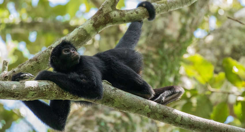 Spider Monkey at the Tambopata Research Center